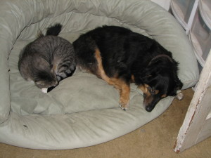 Pure Sweetness--Winny napping with his sister Eithne Louise in their brother Becket's bed.  We will always remember you Becket!